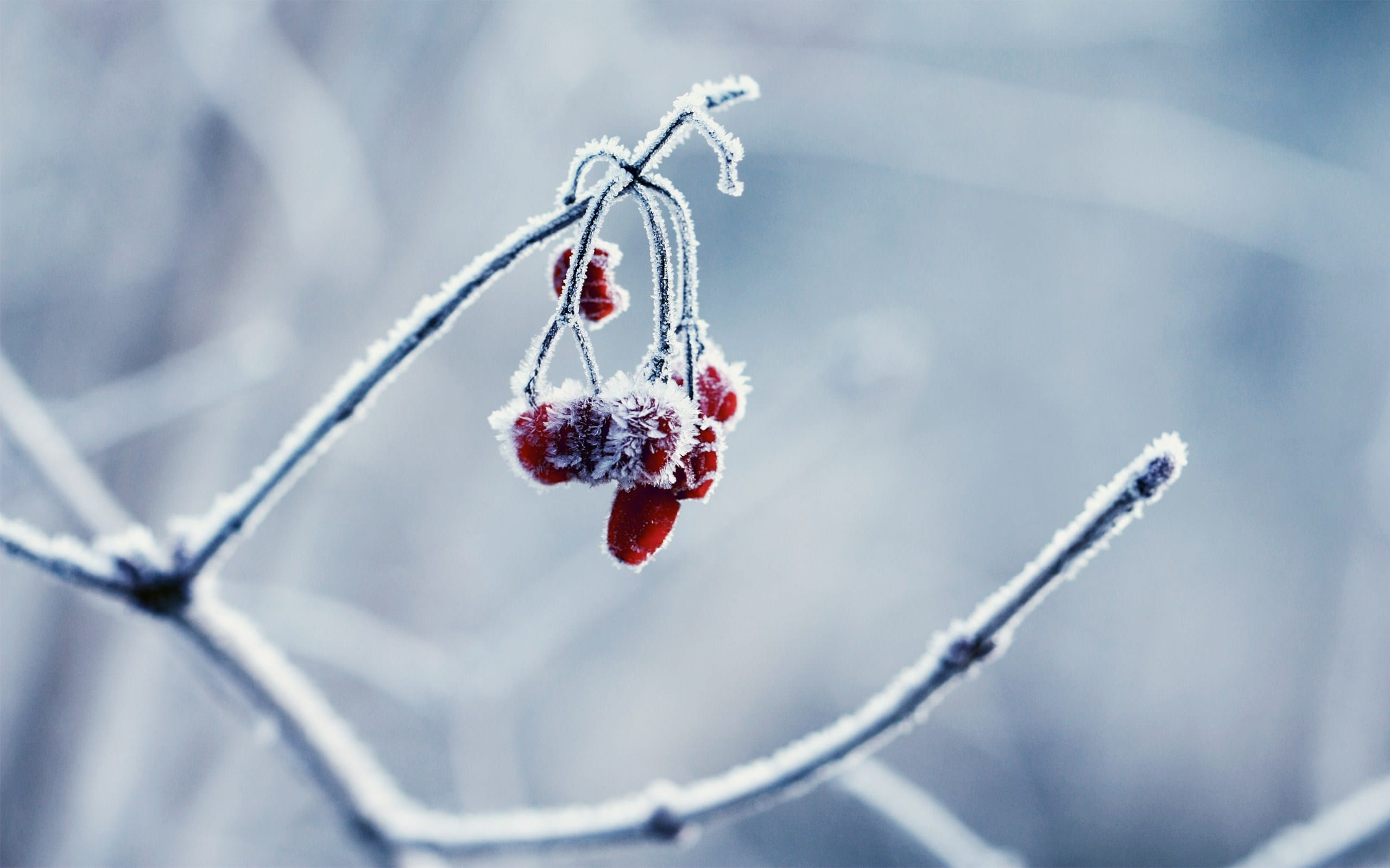 The Frozen Cherry by IrvingGFM Widescreen (3)